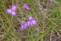 Common Fringe Lily